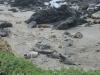 Nog meer Zeeolifanten aan Big Sur