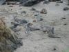 Het hele strand ligt vol met zee olifanten 100en