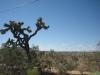 Een joshua tree bij Yucca town